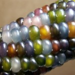 glass-gem-corn