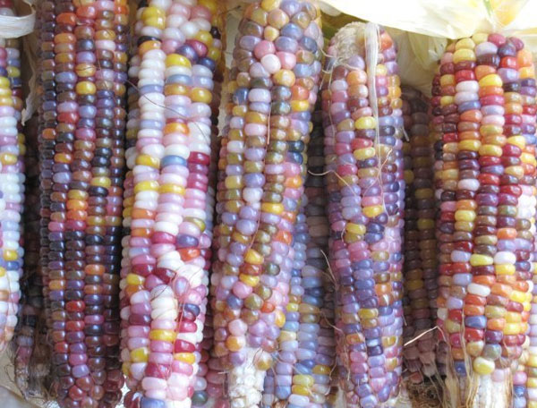 Glass Gem Corn The Multi Colored Corn Variety You Should Probably