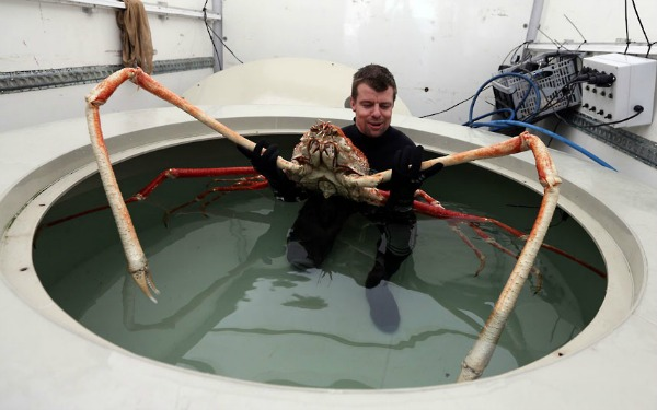 huge crab