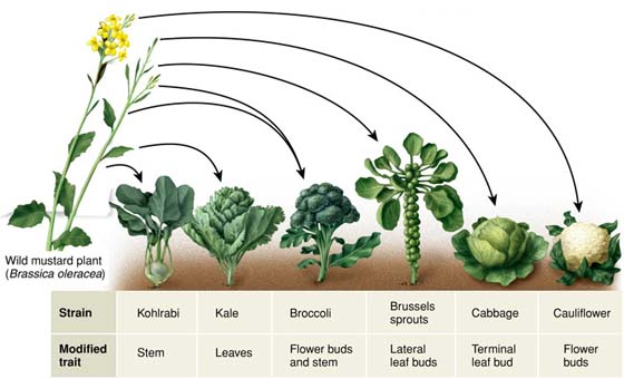 Kale Broccoli Brussels Sprouts And Cabbage Are All The Same Species